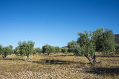 Olive groves in La Mancha Royalty Free Stock Photography