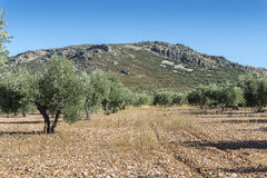 Olive groves in La Mancha Royalty Free Stock Images