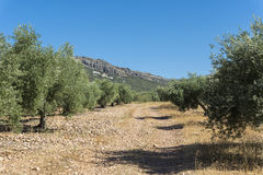 Olive groves in La Mancha Stock Photography