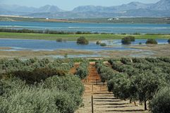 Olive groves and lagoon, Fuente del Piedra. Stock Photos