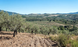 Olive groves Royalty Free Stock Photo