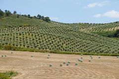 Olive Groves - Malaga - Spain Stock Image