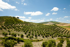 Olive Groves - Malaga - Spain Royalty Free Stock Photography