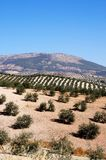 Olive groves, Montefrio, Spain. Royalty Free Stock Image