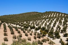 Olive groves, Montefrio, Spain. Stock Photos