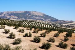 Olive groves, Montefrio, Spain. Royalty Free Stock Photography