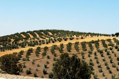 Olive groves, Montilla. Olive groves on rolling hills in the Spanish countryside, Montilla, Cordoba Province, Andalusia, Spain, Western Europe Stock Photo