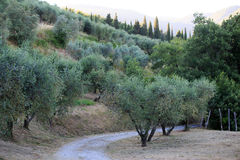Olive groves in the mountains summer on a hot day Stock Photography