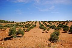 Olive groves near Bornos, Spain. Stock Photos