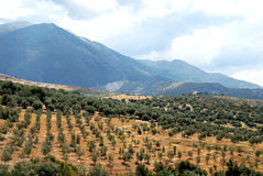 Olive groves near Periana. Royalty Free Stock Photography