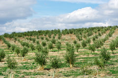 Olive Groves Royalty Free Stock Images
