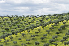 Olive groves Stock Photos