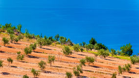 Olive groves by the sea in Dalmatia Stock Photography