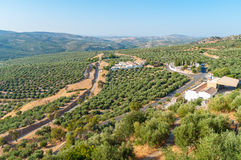 Olive groves of the Sierra Cordoba Royalty Free Stock Photo