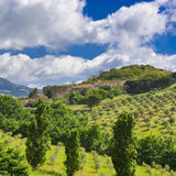 Olive Groves in Sizilien Stockbild