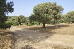 Olive groves in southern Crete Royalty Free Stock Photo
