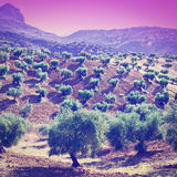 Olive Groves at Sunset Royalty Free Stock Photo