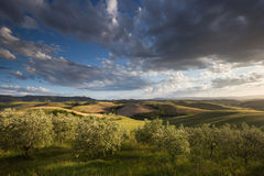 Olive Groves. Olive trees in the early evening light Royalty Free Stock Photography