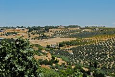 Olive groves, Ubeda, Andalusia, Spain. View of olive groves and countryside, Ubeda, Jaen Province, Andalusia, Spain, Western Europe Royalty Free Stock Photography