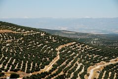 Olive groves, Ubeda, Spain. Royalty Free Stock Images