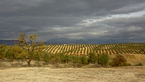Olive groves under dark storm clouds in the Andalusian countryside with mountains of sierra nevada in the backgroud royalty free stock image