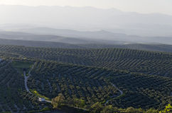Olive Groves. View of olive groves and countryside, Ubeda, Jaen Province, Andalusia, Spain, Western Europe Stock Images