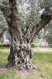 Olive growing with long-lasting trees royalty free stock photo