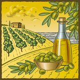 Olive harvest Stock Image