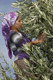 Olive harvest. Unidentified peasant woman is picking olives in Akhisar,Turkey Stock Photography