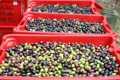 The olive harvest. Good harvest of ripe olives Stock Photo