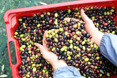 The olive harvest. Olive heart in my hands Royalty Free Stock Image