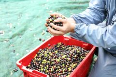 The olive harvest Stock Photography