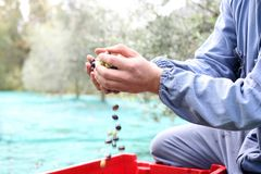 The olive harvest Royalty Free Stock Images