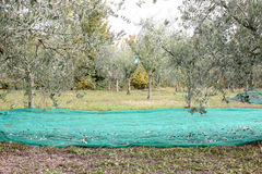 The olive harvest. Olive field during the harvest Stock Photography