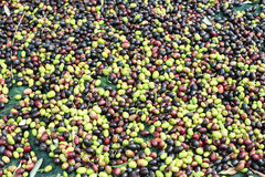 The olive harvest. A carpet of ripe olives Stock Photos