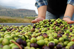 Olive harvest Royalty Free Stock Photos