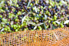 Olive harvest. With the use of networks, Tuscany Italy royalty free stock image