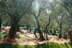 Olive harvest. With the use of networks, Tuscany Italy royalty free stock photo
