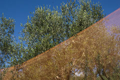 Olive harvest. With the use of networks, Tuscany Italy stock images
