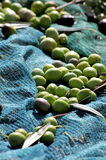 Olive harvest. Italian olive harvest with the mains Stock Image