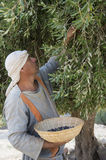 Olive harvest. NAZARETH, ISRAEL - OCT 15 : Palestinian farmer harvesting olive tree in October 15 2012 at Nazareth Village, historical re-creation of Nazareth as Royalty Free Stock Images