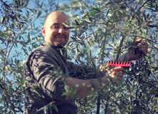 Olive harvest Royalty Free Stock Photography