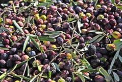 Olive harvest Stock Photography