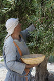 Olive harvest Royalty Free Stock Image
