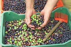 Free Olive Harvest Stock Photos - 39567733