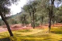 Olive harvest. Coloured nets under olive trees used to harvest olives royalty free stock photo