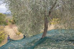 Olive harvest in the countryside in Italy royalty free stock photo
