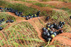 Olive harvest Stock Photography