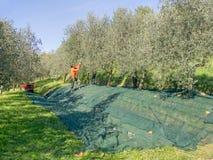Olive harvest, Italy. Stock Photos