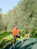 Olive harvest, Italy. Royalty Free Stock Images